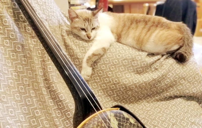 たつや旅館の看板猫、おねむなサンゴちゃんと三線
