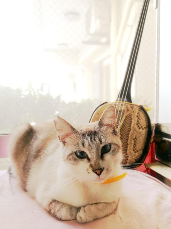 たつや旅館の看板猫、サンゴちゃんと三線