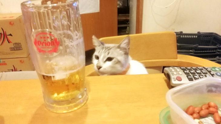 晩酌のお相手をする看板猫サンゴちゃん